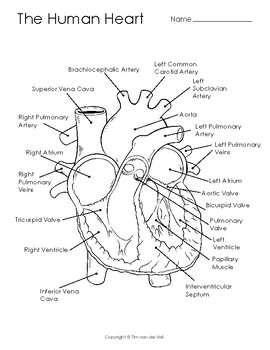 Human Heart Diagram, Coloring Page, and Illustration by