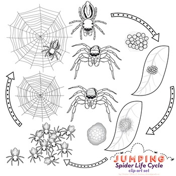 Jumping Spider Life Cycle Clip Art Set by Christine O