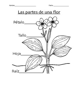 K-2 Parts of a Flower and Plant Needs Worksheet (Spanish