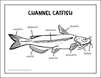 Label a Fish Diagram - Parts of a Fish Labeling - Channel ...