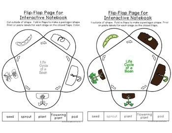 Life Cycle of a Bean Plant Printables by Grade One