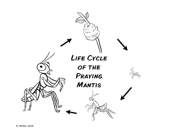 Life Cycle of the Praying Mantis Freebee by Finding