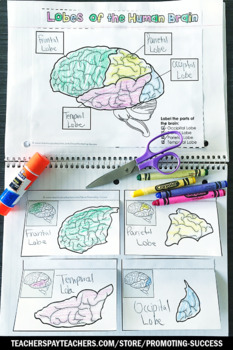 Lobes of the Human Brain Activity, Science Interactive