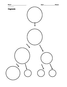 Meiosis, Oogenesis, and Spermatogenesis Organizers and