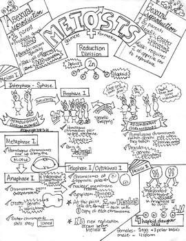 Meiosis Sketch Notes Doodle Notes W/Teacher's Guide