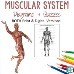 Blank Muscle Diagram To Label Led Bulb Wiring Muscular System Diagrams Study Quiz Color By Science Island