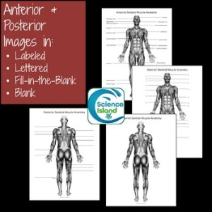 Muscular System Diagrams: Study, Label, Quiz & Color by