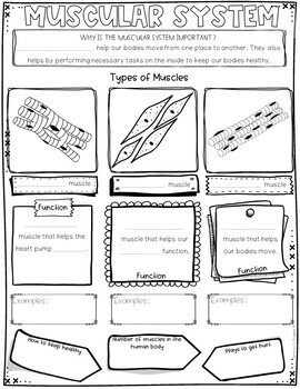Muscular System Review Activity for Muscles by Samson's