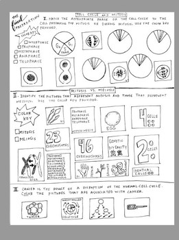 Cell Cycle Mitosis Coloring Worksheet Answer Key