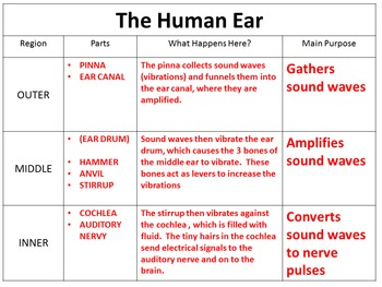 Parts of the Ear Power Point, Notes and Graphic Organizer ...