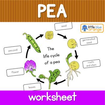 purchasing cycle diagram 69 mustang under dash wiring pea life worksheet by little blue orange | tpt