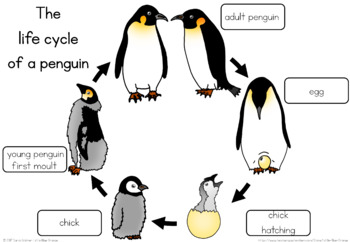 emperor penguin diagram 97 s10 radio wiring life cycle worksheet by little blue orange | tpt