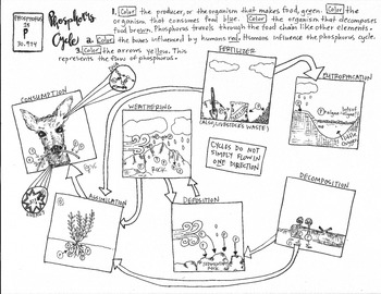 Phosphorus Cycle Coloring Sheet by Scientifically Speaking