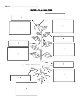 Plant Parts & Their Functions Worksheet/Matching by