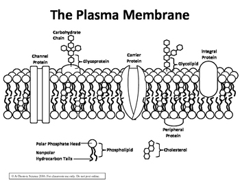 Plasma Membrane / Fluid Mosaic Diagram by A-Thom-ic