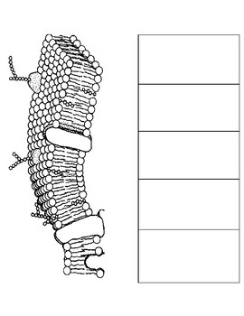 cell membrane diagram blank dsl modem wiring plasma teaching resources teachers pay foldable