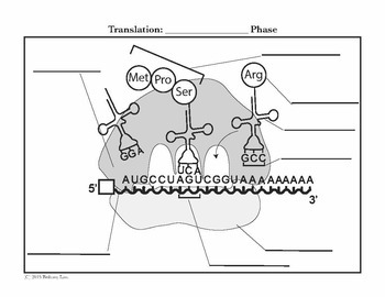 Protein Synthesis Transcription Translation and