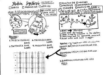Transcription And Translation Coloring Worksheet Sketch