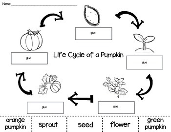 Pumpkin Life Cycle Cut and Paste by PreKinders in Paradise