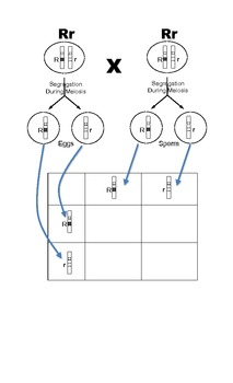 Punnett Square Notes Page w... by Marianne Dobrovolny