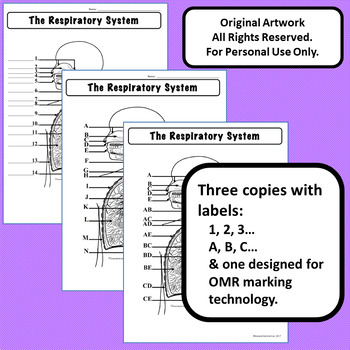 Respiratory System Diagram Personal Use Only Anatomy and