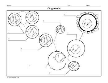 Spermatogenesis and Oogenesis Diagram Activities by