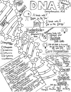 Structure & Function of DNA Sketch Notes W/Teacher's Guide
