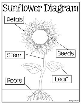 Sunflower Diagram : sunflower, diagram, Sunflower, Diagram, Freebie, Meghan, Snable, Teachers