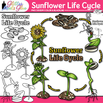 sunflower plant life cycle diagram mazda b2200 stereo wiring teaching resources teachers pay clip art group graphics