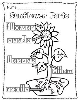 plant stem diagram worksheet ammco 4000 brake lathe parts sunflower life cycle and unit by teacher laura | tpt