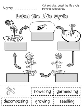 sunflower plant life cycle diagram pioneer avh p1400dvd wiring elementary animal kid
