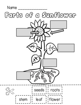 Sunflower Life Cycle and Plant Parts Unit by Teacher Laura