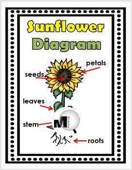 Sunflower Diagram : sunflower, diagram, Sunflower, Flower, Diagram, Wallpaper