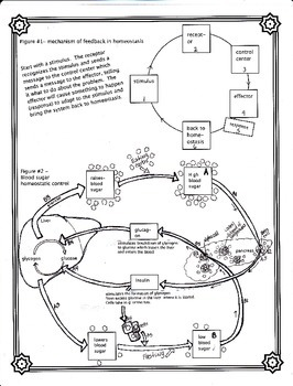 The Control of Blood Sugar Worksheet (Homeostasis) by