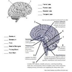 Human Brain Diagram Label Ge Ballast Wiring The Read And Worksheet By Sandhill Science Tpt