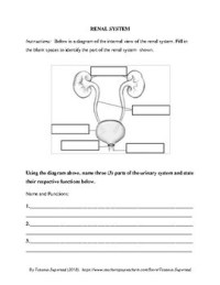 Urinary System Worksheet - Rcnschool