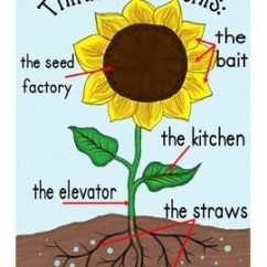 Sunflower Plant Life Cycle Diagram Metropolitan Area Network With Vpn Plants Bundle: Cycles,... By Kindergarten Kupcakes | Teachers Pay