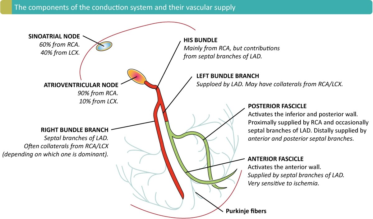 hight resolution of ecg localization of myocardial infarction ischemia and coronarythe arterial supply of the conduction system as seen