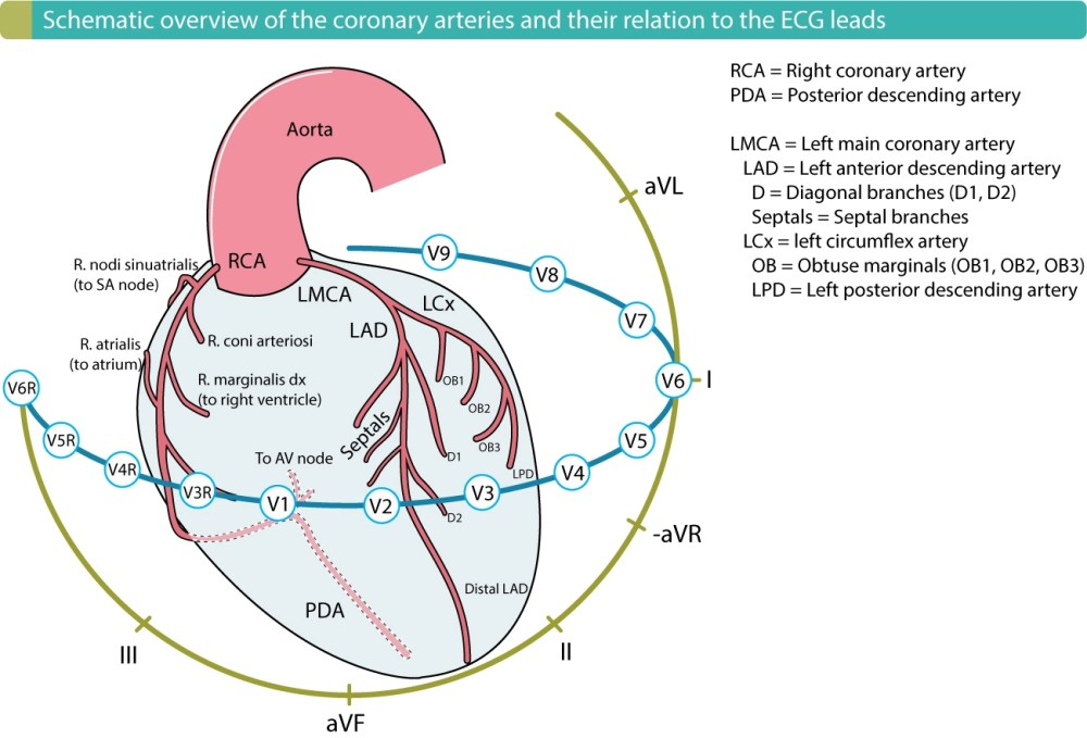 medium resolution of figure 1 the coronary arteries and their relation to the ecg leads localization of