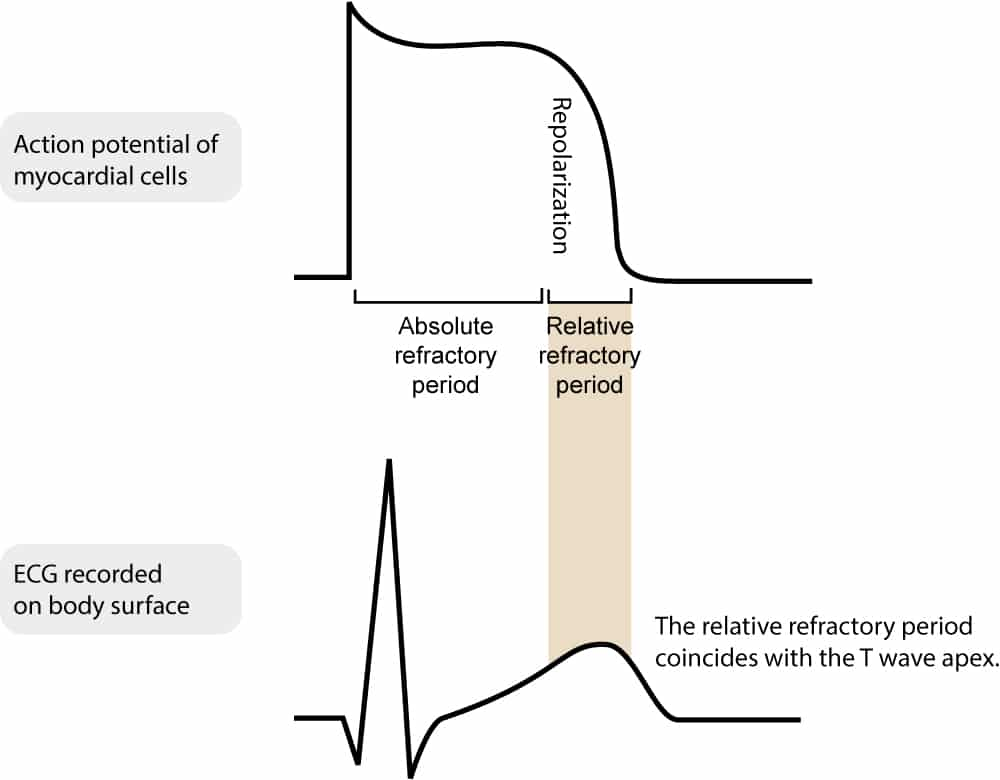 sinoatrial node diagram 2000 honda accord audio wiring cardiac electrophysiology: action potential, automaticity and vectors – ecg learning