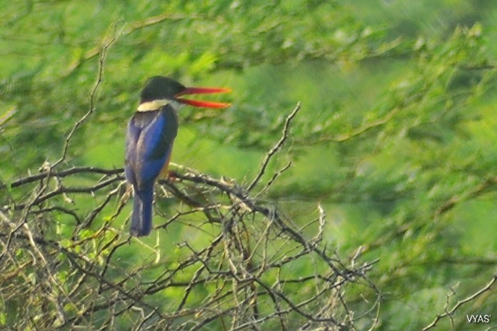Black Kept Kingfisher