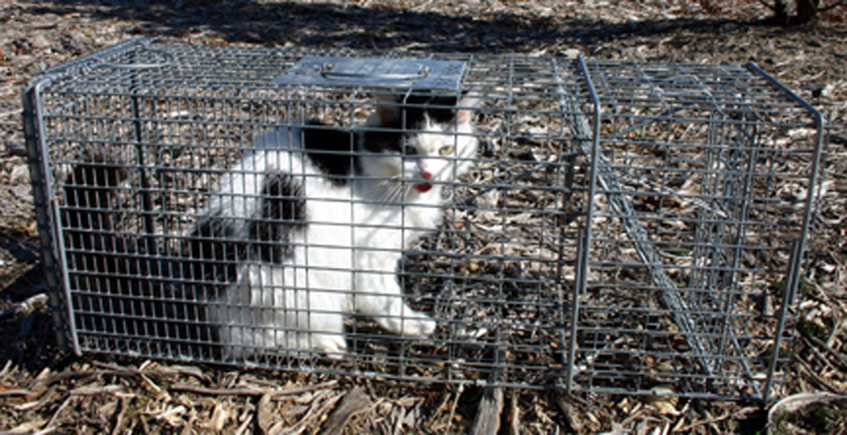 Cats Taking Toll On Tweed Fauna  Echonetdaily