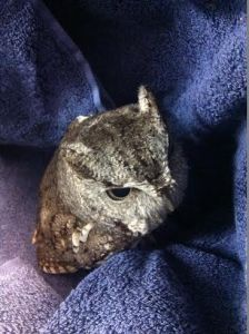 Screech Owl Finally Rescued Photo by Rachel Graves