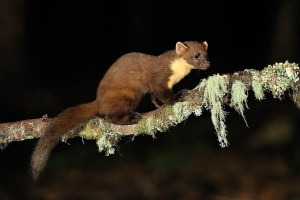 Pine Marten copyright Laurie Campbell 2016