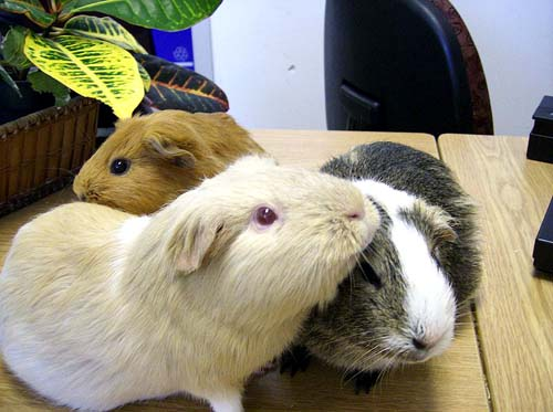 500px-Three_guinea_pigs_(Cavia_porcellus)_at_Keswick_Public_Library