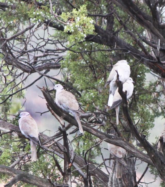 doves in rain sept 8 2013 IMG_7071
