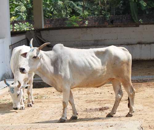 2 bulls 15,16IMG_3740 2