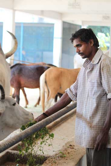 A Blue Cross caregiver feeding rescued cows.