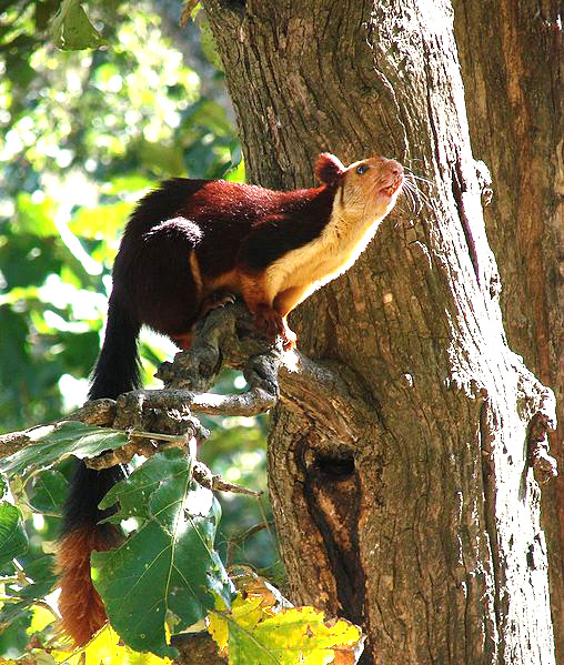 508px-Malabar_Giant_Squirrel-Dogra