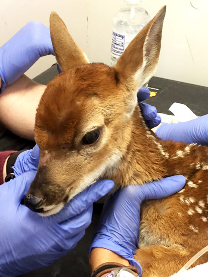 """""""A fawn I rescued the day after the flood when the new moms panicked and abandoned their newborns. Texas A&M brought a huge mobile clinic to us and they gave her fluids and called a rehabilitator."""""""